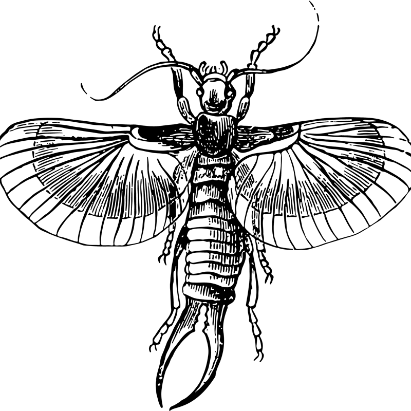 insects earwig - Certified Pest Control