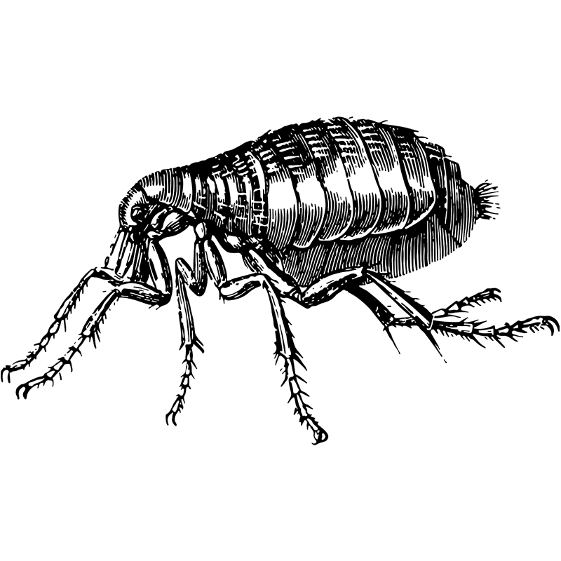 insects flea - Certified Pest Control