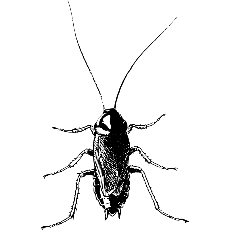 insects oriental cockroach - Certified Pest Control